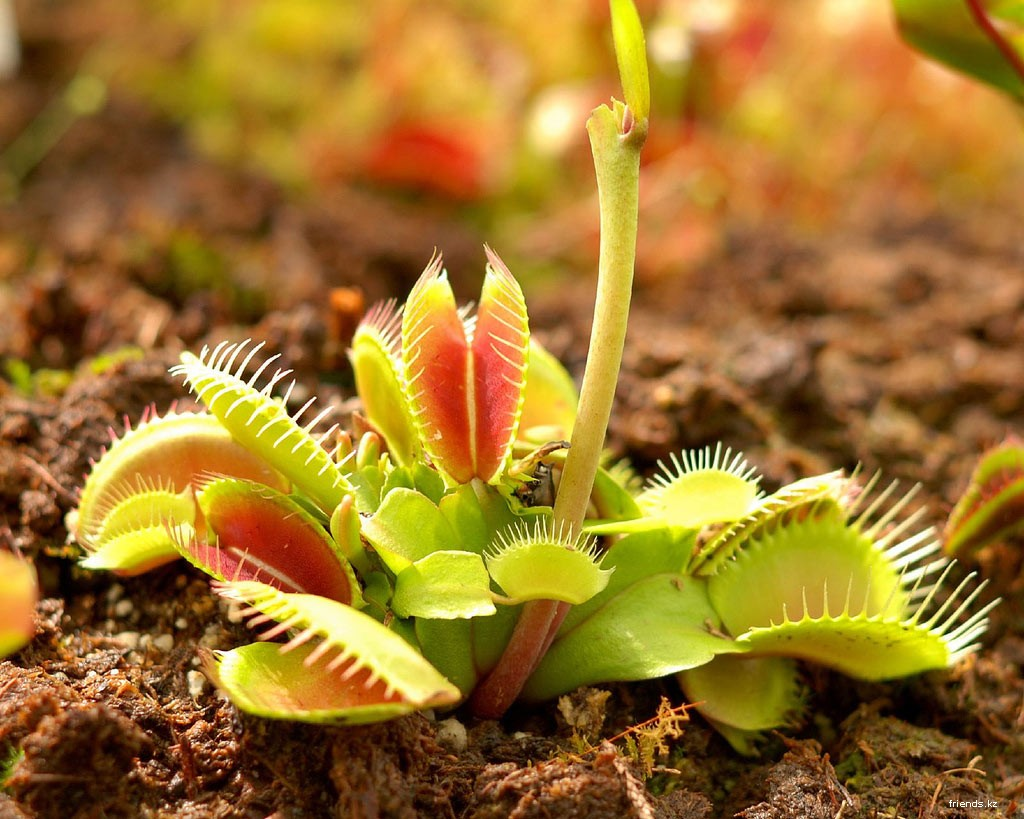 Download desktop wallpaper Venus flytrap