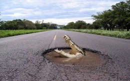 Alligator in a pit on the road