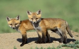 Animals - two fox - wallpapers - the fox, the fox