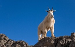 Animals, white mountain goat - Wallpaper