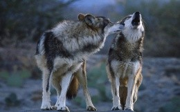 Animals - wolves, wolf, wolf - wallpaper - 2 Wolf - animals