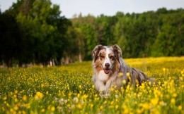 Australian Cattle Dog in field