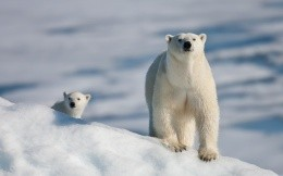 Bear and cub at the North Pole