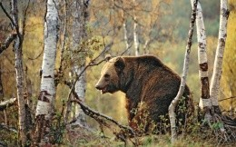 Bear in a birch forest