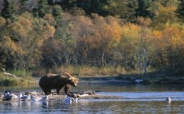 Bear on the banks of the River