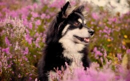 black-and-white dog in flower field