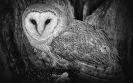 Black and white photo of an owl
