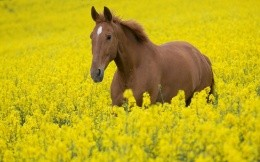 Brown horse with yellow wildflowers