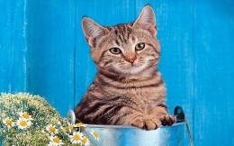 Cat in a bucket on a blue background, wallpaper, animals, cats.