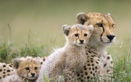 Cheetah cheetah and kids