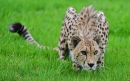 Cheetah hunts