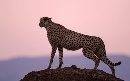 Cheetah in all its glory