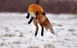 Fox jumps