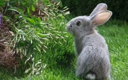 Gray rabbit in grass