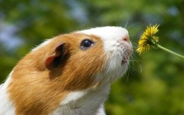 Guinea pig sniffing dandelions, photo nature 1920x1200.