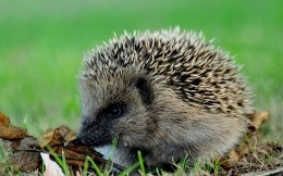 Hedgehog digs his nose in the autumn leaves