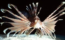 Hedgehog fish, animals, wallpaper fish with needles orgromnymi