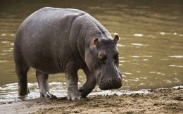 Hippo coming out of the water after swimming