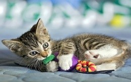 Kitten with a soft toy-mouse