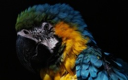 Large parrot close up