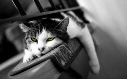Lazy cat with green eyes, black-and-white photo