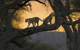 Leopards on the thick branches of a tree