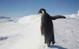 Lonely penguin walking on snow