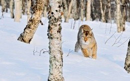Lynx in the wild