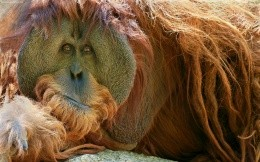 Moody arangutang, monkey, shiroformatnye photo wallpaper, animals.