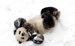 Panda in the snow