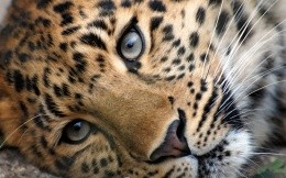 Photo leopard muzzle closeup