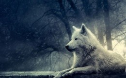 Photo or picture white wolf wallpapers