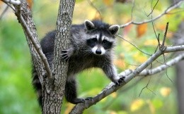 Photo raccoon in a tree, wallpaper high resolution