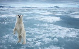 Polar bear on the ice on his hind legs