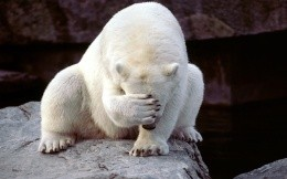 Polar bear paw closes face - funny wallpaper
