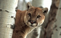 Puma in a birch forest close up