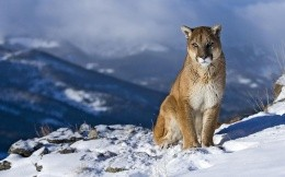Puma in the Andes