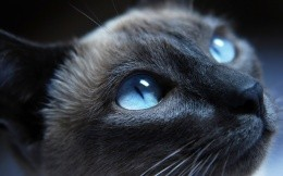 Siamese cat with blue eyes close-up photo: 2560x1600