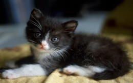 Small black-and-white kitten, wallpaper, animals, kittens.