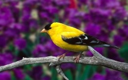 Small yellow and black bird