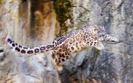 Snow leopard leap