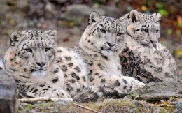 Three snow leopard