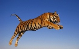 Tiger in flight