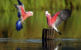 Two beautiful parrot