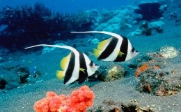 Two black-and-white-and-yellow fish in the marine world, wallpaper, animals