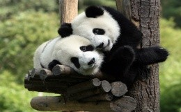 Two panda bear hugging