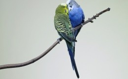 two wavy parrot
