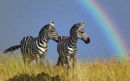 Two zebras and rainbow