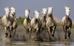 White horse run gallop in the mud