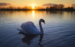 White swan on a pond ...